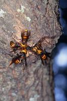 樹液に集まるオオスズメバチ