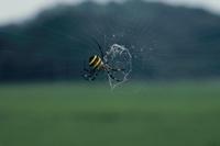 ヨコ糸をはるコガネグモ