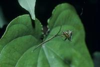 ワカバグモを捕えたオナガグモ