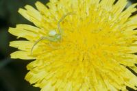 タンポポの花の上で獲物を待つハナグモ