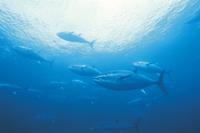 クロマグロの群泳