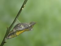 羽化直前のアゲハ(ナミアゲハ)の蛹 32093000683| 写真素材・ストックフォト・画像・イラスト素材|アマナイメージズ