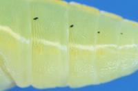 モンシロチョウの蛹 気門