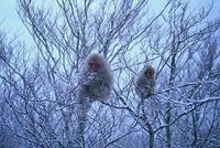 雪中のニホンザル 樹上の親子