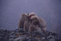 ニホンザル 冬