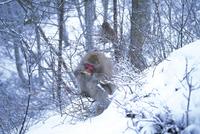 厳冬期に小枝の樹皮を採食するニホンザル