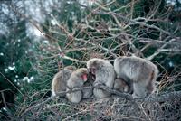 寒さをしのぐために樹上で寄り添うニホンザルの群れ