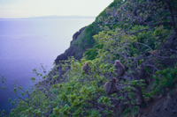 春、海沿いの山肌で採食するニホンザル