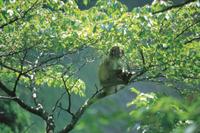 樹上で上を見上げるニホンザル