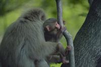 ニホンザルの親子 木に登る子を引き止める親