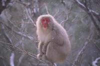 降雪の中、寒さに耐えるニホンザル