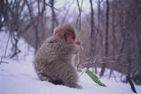 雪中のニホンザル 草を食べる