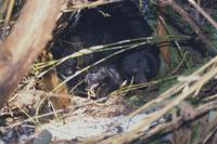巣から頭を出すツキノワグマの親子