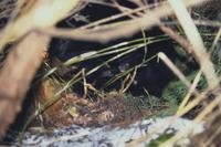 巣穴の中にいるツキノワグマの親子