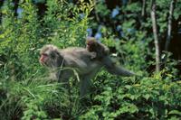 子ザルを背に乗せて草むらを移動するニホンザルの母親