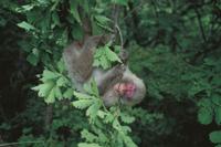 樹上で枝をかじるニホンザル