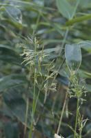 チシマザサ(ネマガリタケ)の花