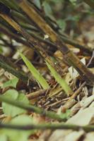 チシマザサ(ネマガリタケ)の若芽