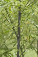 クロチク(黒竹)