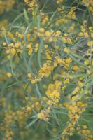 ソウシジュの花