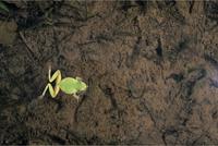 ニホンアマガエル(アマガエル) 泳ぐ1 泳ぐ前 32097000005| 写真素材・ストックフォト・画像・イラスト素材|アマナイメージズ