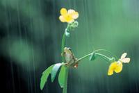 二ホンアマガエル(アマガエル) 雨の日