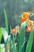 ウスカワマイマイ 雨の日