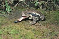ニホンヒキガエル 捕食の瞬間 3