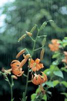 ウスカワマイマイとコオニユリ 雨の日