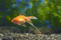 フンをするリュウキン(金魚)