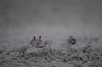 スナガニの巣穴作り:砂を投げ捨てる