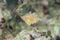 アミメハギ 海藻に吸い付いて漂う 32097000251| 写真素材・ストックフォト・画像・イラスト素材|アマナイメージズ