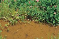 春の用水路を泳ぐメダカ