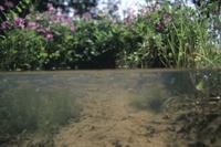 春の用水路を泳ぐメダカ (半水面)