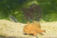 カエルアンコウの捕食行動:疑似餌を振って寄ってきたメジナの稚