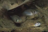 水底の落ち葉の下で越冬中のメダカ