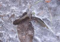 メダカ 水が少ない水路で氷づけになり死ぬ