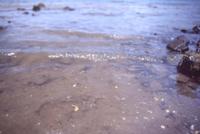 海に流れたメダカ