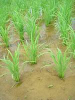 雨待ち 7月の水田