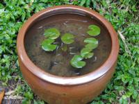 ウスアオメダカ 亀壷で飼育