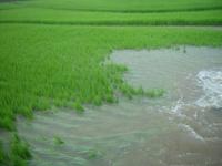 水田 大雨