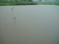 大雨で水没した水田