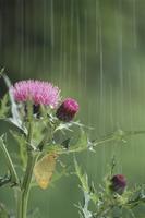 雨宿りするモンキチョウ 春