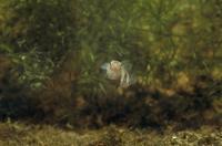 メダカの交尾 オスは背ビレでメスを包み込む(左:メス 右:オス)