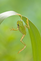 葉をよじ登るニホンアマガエル(アマガエル) 32098000005| 写真素材・ストックフォト・画像・イラスト素材|アマナイメージズ