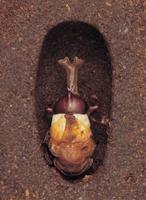 カブトムシのオスの羽化連続 3 32098000053| 写真素材・ストックフォト・画像・イラスト素材|アマナイメージズ