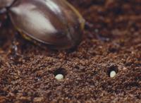 カブトムシの卵