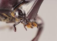 カブトムシのオスの口 32098000076| 写真素材・ストックフォト・画像・イラスト素材|アマナイメージズ