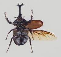 カブトムシの展翅標本(腹)