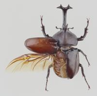 カブトムシの展翅標本(片翅のみ)